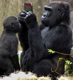 Visitors to a zoo were amazed to see a gorilla playing with a Nintendo DS at San Francisco Zoo. And people insist in telling that animal are inteligent. Primates, Gorilla Gorilla, Female Gorilla, Animals And Pets, Baby Animals, Funny Animals, Animal Kingdom, San Francisco Zoo, Super Cute Animals