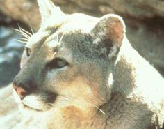 Le puma vu près de Sibret - Toute l'actu 24h/24 sur Lavenir.net Puma, Panther, Presidents, Animals, Projects, Animales, Animaux, Panthers, Animal