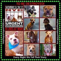 """9 BEAUTIFUL LIVES TO BE DESTROYED 03/18/17 @ NYC ACC **SO MANY GREAT DOGS HAVE BEEN KILLED: Puppies, Throw Away Mamas, Good Family Dogs. This is a HIGH KILL """"CARE CENTER"""" w/ POOR LIVING CONDITIONS. Please Share: To rescue a Death Row Dog, Please read this: http://information.urgentpodr.org/adoption-info-and-list-of-rescues/"""