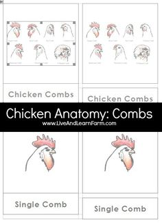 Chicken Anatomy includes several sets of 3 Part Cards.  Since we are in chicken mode around here, I decided to create some lessons on Chickens.  There will be more in this series, so stay tuned!