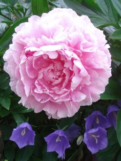 Underplant peonies with campanula