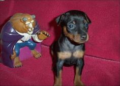 toy king black and rust miniature pinscher puppy