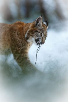 Kill that twig! Young male Euroasian lynx plays with twig in beautiful winter moorland.