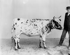 1899 Finnish cow portraits photographer I. Inha The 1900 Paris World's Fair Cow Photos, Poses For Pictures, Sweet Cow, Portrait Photographers, Portraits, Selective Breeding, Dairy Cattle, Glamour Shots, Friesian