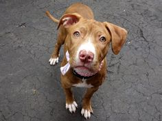 SAFE 5-23-2015 by Rescue Dogs Rock NYC --- Manhattan Center REESES – A1036158  FEMALE, BR BRINDLE / WHITE, AM PIT BULL TER MIX, 6 mos SEIZED – ONHOLDHERE, HOLD FOR ID Reason SEARCH WAR Intake condition EXAM REQ Intake Date 05/13/2015,