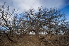 Beautiful oak with spreading branches