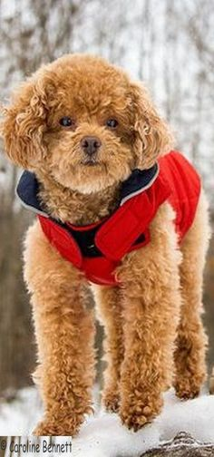 SO CUTE DOGGY ;-)   pyper is a 7 year old Toy Poodle  #photo by Caroline Bennett at canada on flickr.com  #dog puppy winter snow