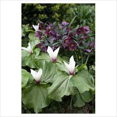 Trillium chloropetalum and Helleborus.  t. chloropetalum native to California. Not commercially available as it takes 5 years to produce plants of flowering size from seed