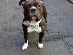 GONE 5-31-2015 --- RETURNED and DOH HOLD 05/18/15 ATTACK PEOPLE --- SAFE 4-27-2015 --- Manhattan Center PARKER - A1033838 MALE, BLACK / WHITE, AMERICAN STAFF MIX, 2 yrs STRAY – STRAY WAIT, NO HOLD Reason STRAY Intake condition EXAM REQ Intake Date 04/21/2015