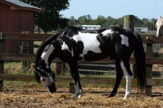 Frame Overo | black frame overo - Paint Horse stallion Cochise | Dream Pets
