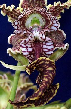 The extraordinary, voluptuous lip of Dendrobium spectabile by Ricardo in PR, via Flickr