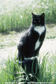 Tuxedo cat..... Markings Just like my beloved Sammy who visited me in dreams last night~~~
