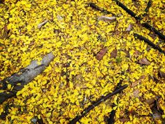 yellow carpet from a lot of petals on the ground