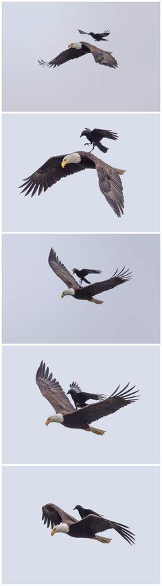 Thug life level: Crow