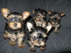 AKC YORKSHIRE TERRIER PUPPIES - I have 4 puppies that will be ready for there forever home Dec 17 th to Dec 23rd They are charting to be about 2.5 lbs to 3 lbs if that...http://www.e-dogsite.com/41-akc-yorkshire-terrier-puppies/details.html