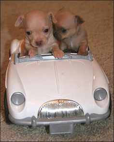 Who wouldn't want to drive around with these adorable Chihuahuas! Brought to you by Shoplet.com, everything for your business!