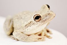 Frog Photography, Tree Frog Pictures, Frog Photo, Cream Nude Soft Tan