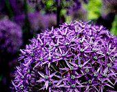 blossom photography dreamy home decor purple violet flower allium garden art geometric stars kelly chartreuse green Summer, Plants, Etsy, Summer Time, Plant, Planets