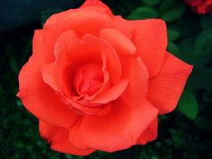 tropicana rose | tropicana rose i have four roses that have already bloomed out and two ...