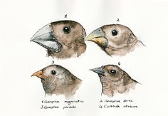 Darwin's Finches. I love this image and I think I want to incorporate them into a chest/collarbone piece.
