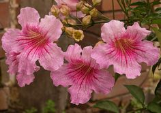 Purple Hibiscus, Colorful Plants, Begonia, Outdoor Plants, Pink Flowers, Garden, Lounge, Climbing Flowering Vines, Climbing Roses