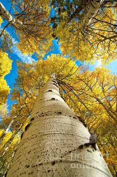 Taken looking up an aspen tree in the Eastern Sierra Beautiful World, Beautiful Places, Aspen Trees, Birch Trees, Tree Art, Amazing Nature, Belle Photo, The Great Outdoors, Mother Nature