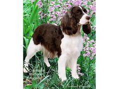 English Springer Spaniel Liver & White Dog Flag by Barbara Augello for Dogimage - Garden Flag and Large Flag