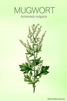 Information on the Side Effects, Traditional Uses and Health Benefits of the Medicinal Herb Mugwort (Artemisia vulgaris) in Herbal Medicine Herbal Plants, Medicinal Plants, Healing Herbs, Natural Healing, Natural Medicine, Herbal Medicine, Herbal Remedies, Herbalism, Foot Pain