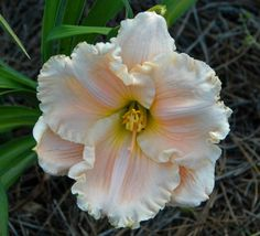 Daylily (Hemerocallis 'Divinely Blessed') uploaded by shive1
