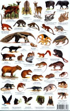 mammals   Peru Mammals