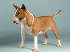 Red and white English bull terrier Monty or Pilot! X Pilot it is! X