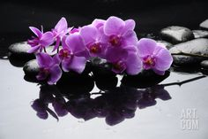 Purple Orchid and Black Stones with Reflection Premium Poster by crystalfoto at Art.com