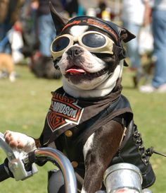 Bodie's friend Chopper the Biker Dog! Pet friendly events in San Diego include Bow Wow Brunch, a Sunday Champagne Brunch with your dog. Bodie and Chopper will be hosting together! Dog Halloween, Halloween Costumes, Cute Puppies, Cute Dogs, Harley Davidson, Boston Terrier Love, Boston Terriers, Funny Animals, Cute Animals