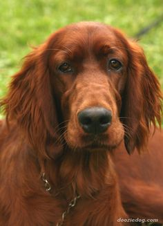 I've always wanted an Irish Setter! They are so gorgeous!!