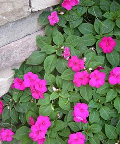 Your impatiens might last through garden walk season in Western New York this year. Or they might die. Click back to the article to find out why and decide whether you want to try impatiens or go with a different plant for shade. Photo courtesy Margery Daughtrey