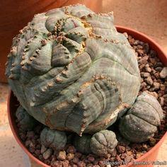 Euphorbia obesa cv. Rocky Mountain