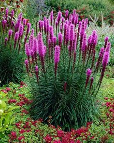 Blazing star (liatris), perennial. Great plant. Let the seed heads that dry up in the fall drop to the ground. You will have lots of plants if you let this happen by itself each year. This Liatris is good to repeat here and there. 6 ft. apart for great eye appeal. Happy planting..