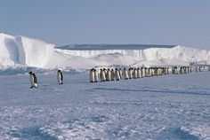 Emperor Penguins walk in a line across sea ice by the ice shelf as they return to their chicks. Antarctica: Frank Todd: Arctic & Antarctic photographs, pictures & images from Bryan & Cherry Alexander Photography.