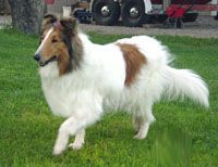 white collie | white collie the white is predominantly white and usually has