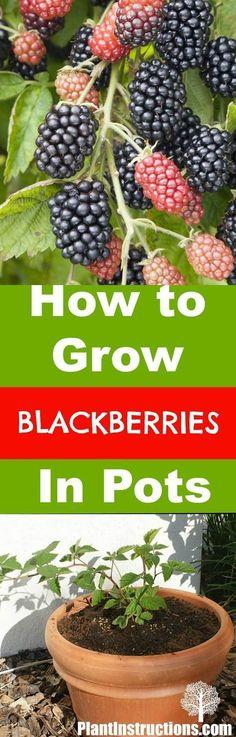 grow blackberries in pots #springvegetablegardening