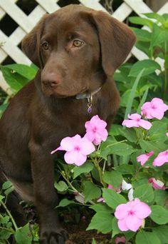 Josie the Labrador Retriever