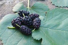 Survival Skills: 5 Uses For Mulberry Fruit | Outdoor Life Survival