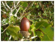 The Kermes Oak Tree Acorn In A Tree