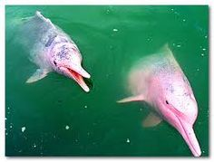 Turns out that Albino dolphins are pink! Who woulda thought...