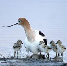 An American avocet with chicks at Malheur National Wildlife Refuge in Oregon.