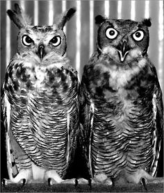 Bahman Farzad's portrait of Two Owls: The unhappy Relationship