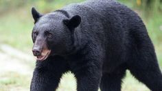 More than 200 bears killed in first day of Florida hunt | Fox News