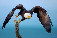 Nicely Eagle