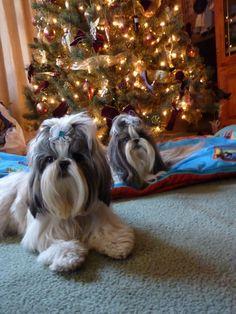My Christmas card. HaiLi and Kabre #ShihTzu #Christmas
