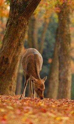 Deer in Nara Park, Japan 奈良公園 Beautiful Creatures, Animals Beautiful, Cute Animals, Autumn Day, Autumn Leaves, Autumn Forest, Soft Autumn, Mundo Animal, Fall Halloween